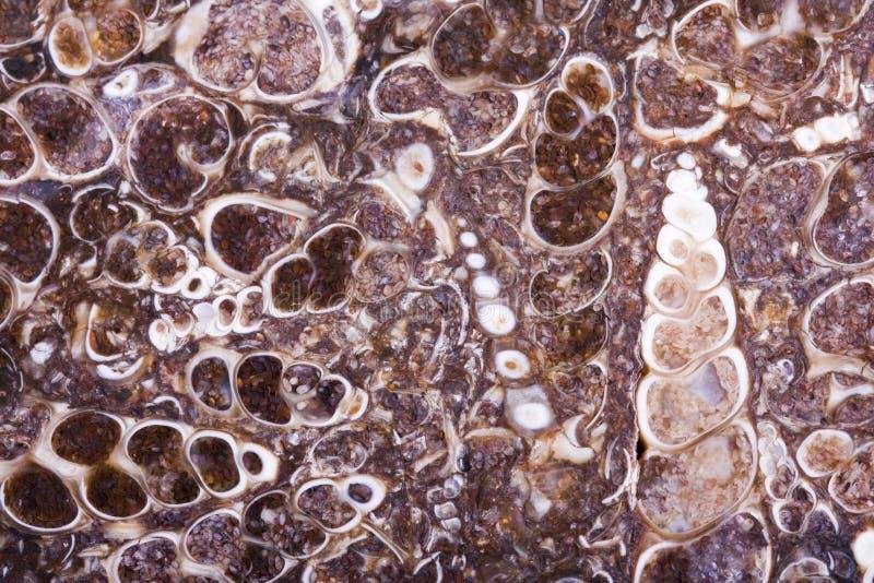 Laje fóssil da ágata do turritella fotografia de stock royalty free
