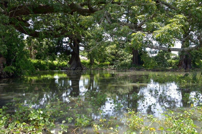 Download Lake arkivfoto. Bild av senegal, trä, gråtit, koloni - 27285764