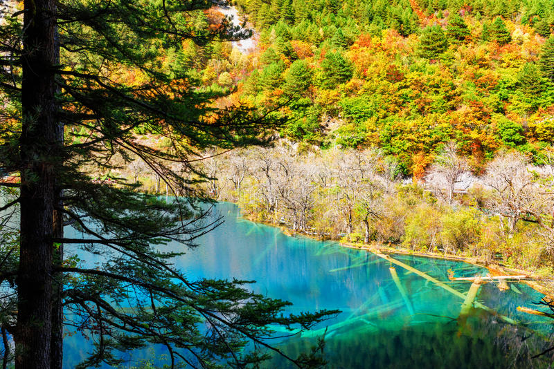 Lake with azure crystal water and submerged tree trunks. Lake with azure crystal clear water among colorful fall woods, the Shuzheng Valley, Jiuzhaigou nature royalty free stock images