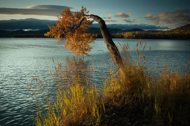 Lake Baikal in the fall. The tree bent over the water royalty free stock photo