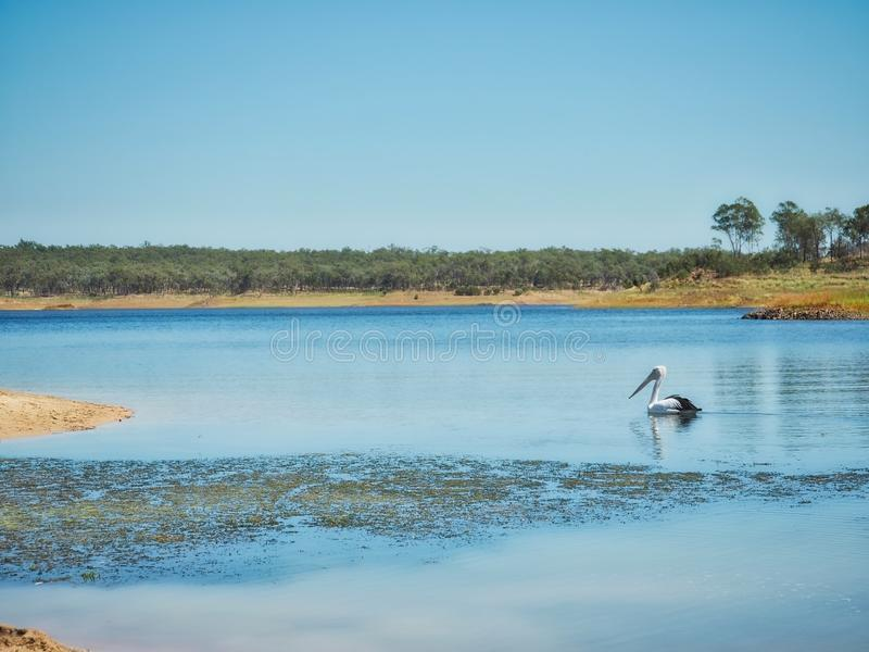Lake Boondooma And Wild Pelican. A wild pelican relaxing at Lake Boondooma, Queensland, Australia royalty free stock image