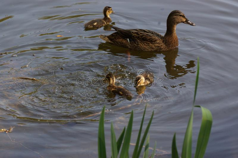 Lake, female duck and ducklings - France. A female duck with its ducklings which swim quietly some behind the others. They are in the pond of the mute. The lake royalty free stock image