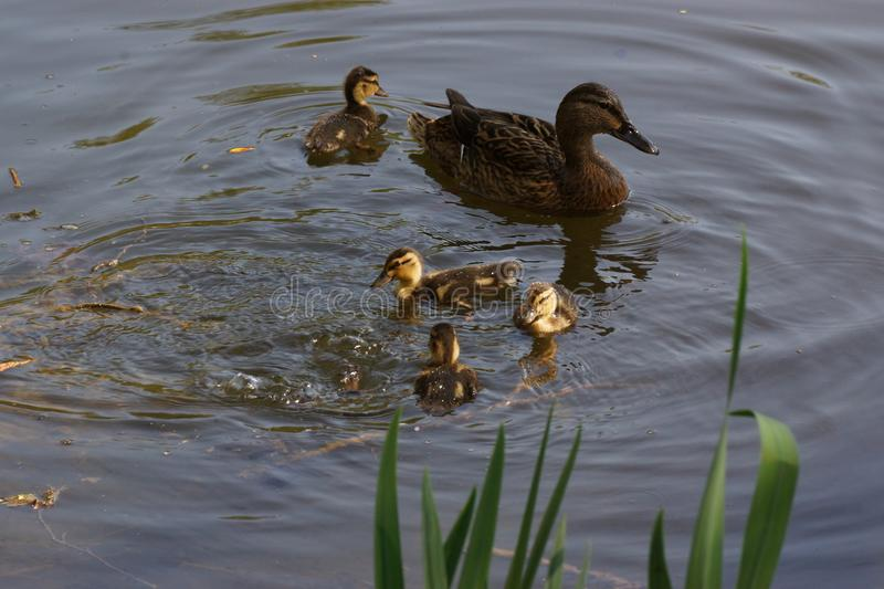 Lake, female duck and ducklings - Front view - France. A female duck with its ducklings which swim quietly some behind the others. They are in the pond of the stock image