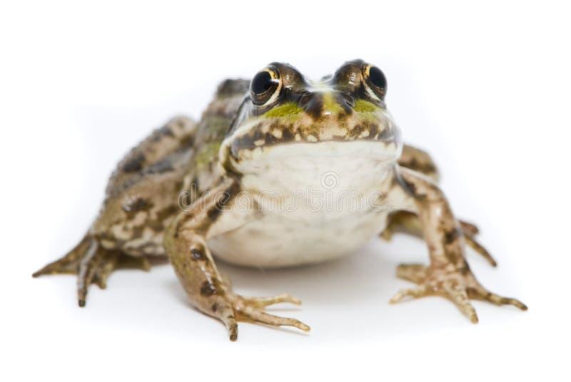 Lake frog on white background stock photo