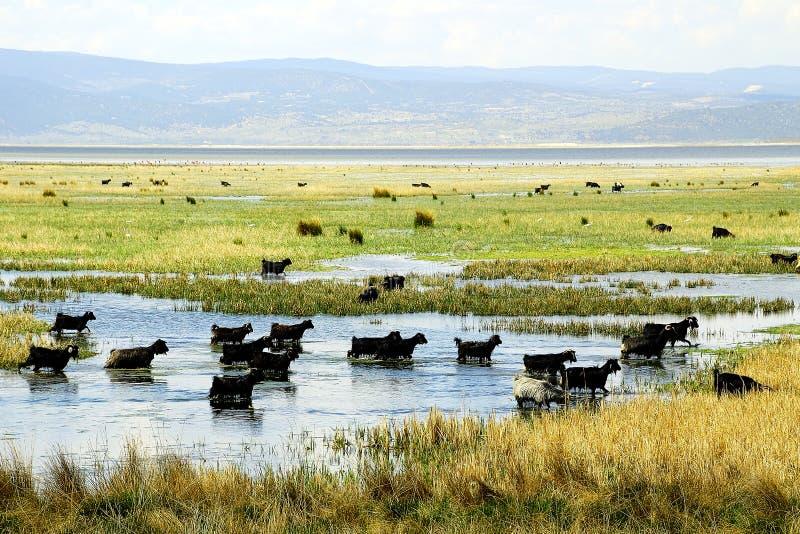 Lake and goat. Goat and lake in photo taken denizli- turkey royalty free stock photo
