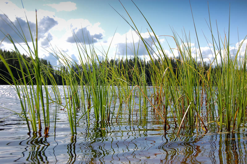 Lake grass royalty free stock photography
