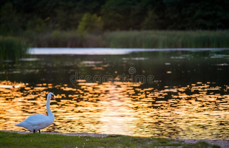Lake landscape in golden light and one bird stock image