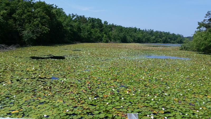 Lake of lily pads stock photography