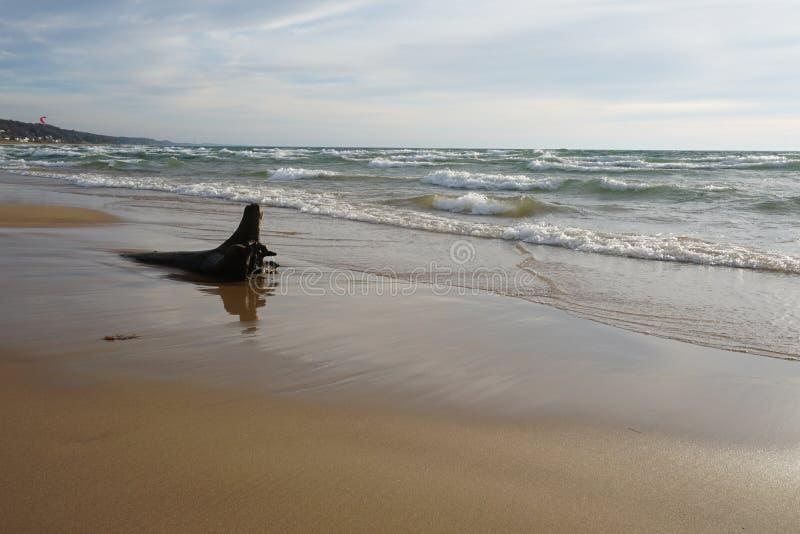 Shoreline with drift wood on beach royalty free stock photo