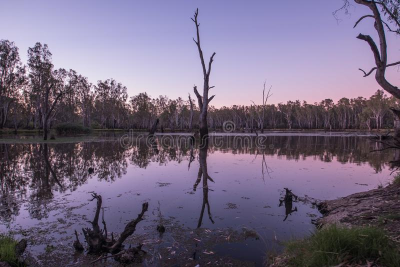 Trees in Lake Mulwala Australia. Lake Mulwala was formed by damming the Murray and flooding the adjacent countryside. Flooded trees have subsequently died royalty free stock image