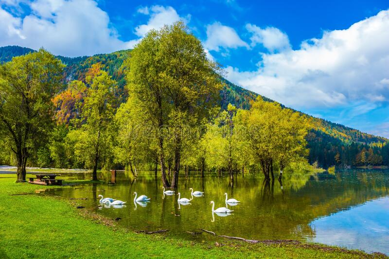 The lake in Northern Italy. Lago de Fusine. A lovely flock of white swans swims and reflects in the smooth water. Concept of ecological tourism royalty free stock photo