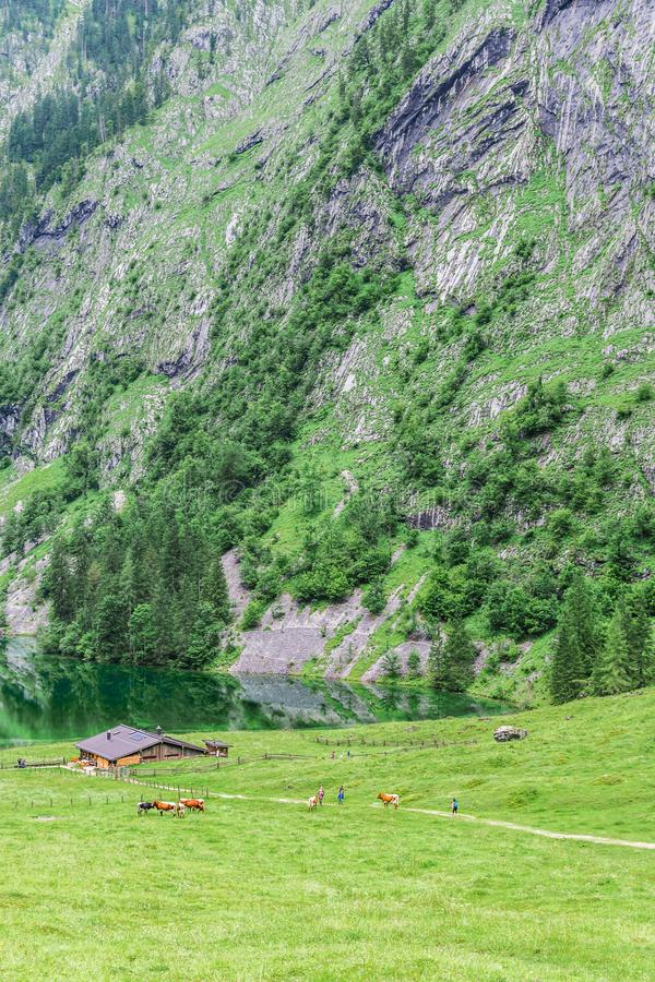 Lake Obersee, Sch nau am Konigssee, Bavaria, Germany. Great alpine scenery with cows in National Park Berchtesgaden. stock photo