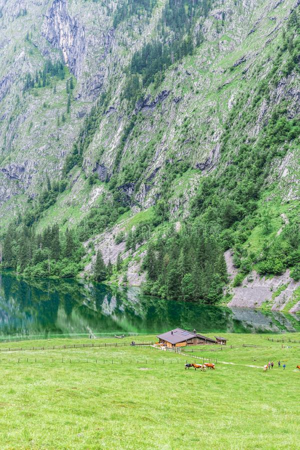 Lake Obersee, Sch nau am Konigssee, Bavaria, Germany. Great alpine scenery with cows in National Park Berchtesgaden. stock photography
