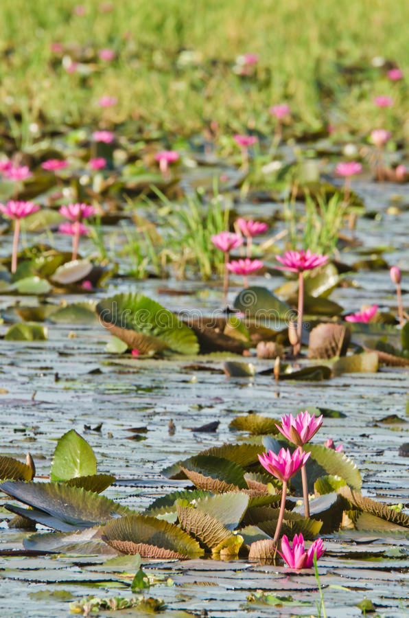 Download The Lake Of Pink Water Lily Stock Photo - Image of nature, lotus: 26511202