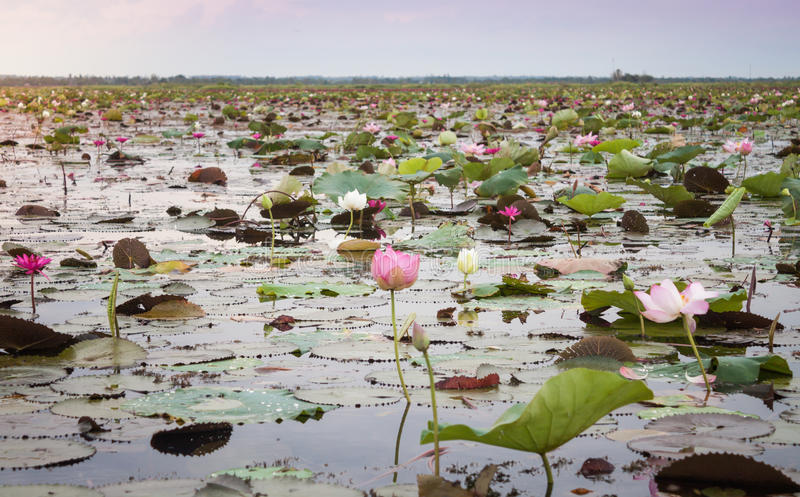 Lake of red lotus at Udonthani Thailand (unseen in Thailand). Stock photo royalty free stock photo