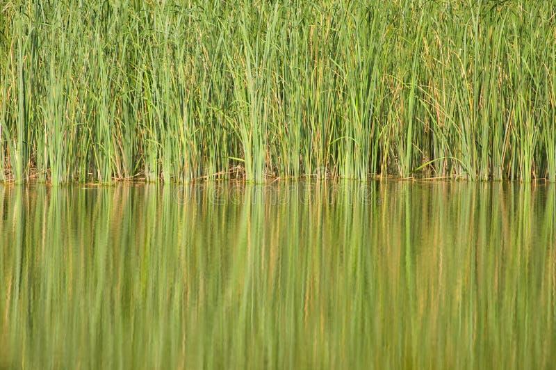 Lake and reed royalty free stock photos