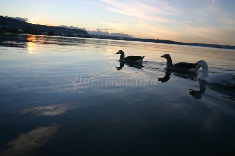 Lake Rotorua Ducks royalty free stock images