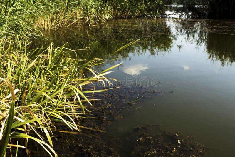 Lake& x27; s岸和芦苇 免版税库存图片
