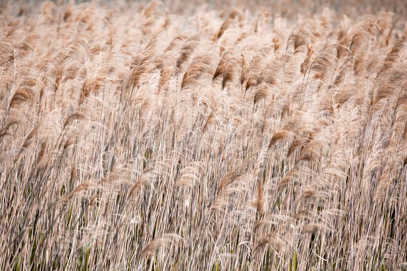 Lake Shore. Coastal plants, texture, reed, pattern. Brown color royalty free stock photography