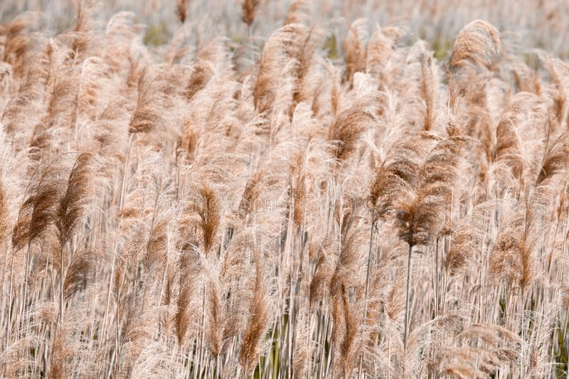Lake Shore. Coastal plants, texture, reed, pattern. Brown color stock photos