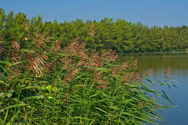 Lake shore with growing reed royalty free stock photos