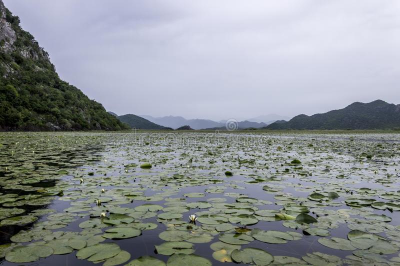 Lake Skadar. (Albanian: Liqeni i Shkodrës, pronounced [liˈcɛni i ˈʃkɔdrəs]; Montenegrin and Serbian: Скадарско језеро, Skadarsko jezero royalty free stock photo