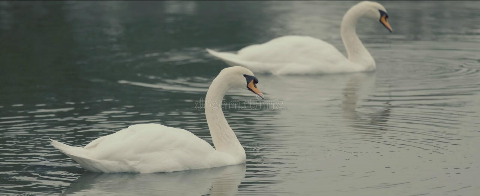 Lake swans. Two swans stock images