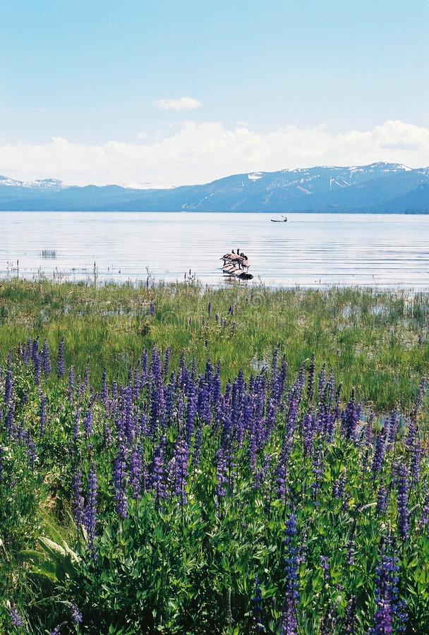 Lake Tahoe Nevada With Mountains And Flowers Free Stock Photos