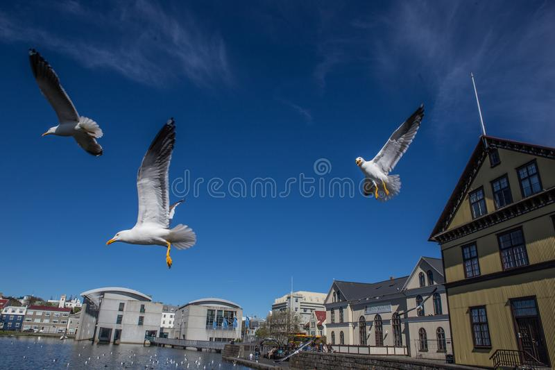 Lake Tjornin. With flying seagull in Reykjavik, Iceland royalty free stock photography