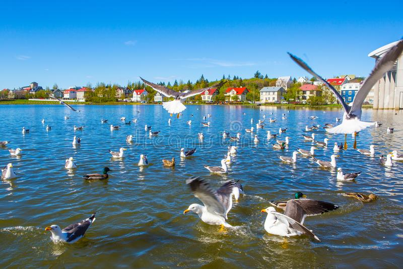 Lake Tjornin. Wiht seagull in Reykjavik, Iceland stock photography