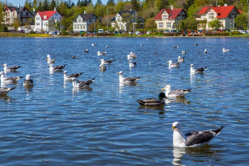 Lake Tjornin. Wiht seagull in Reykjavik, Iceland stock image