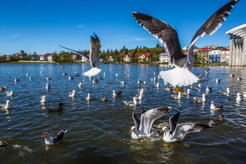 Lake Tjornin. Wiht seagull in Reykjavik, Iceland royalty free stock photos