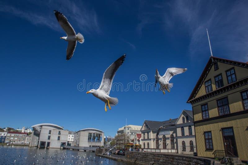 Lake Tjornin. Wiht seagull in Reykjavik, Iceland royalty free stock photo