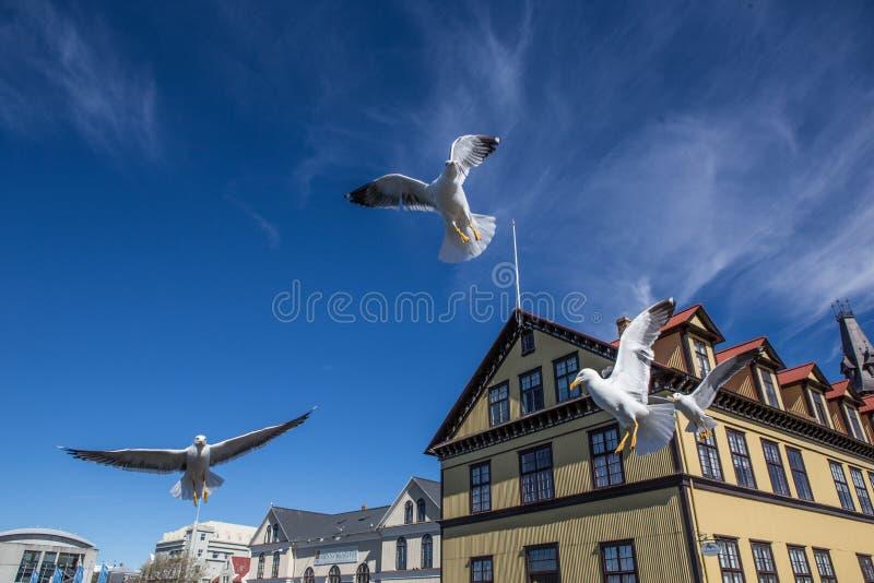 Lake Tjornin. Wiht seagull in Reykjavik, Iceland royalty free stock image