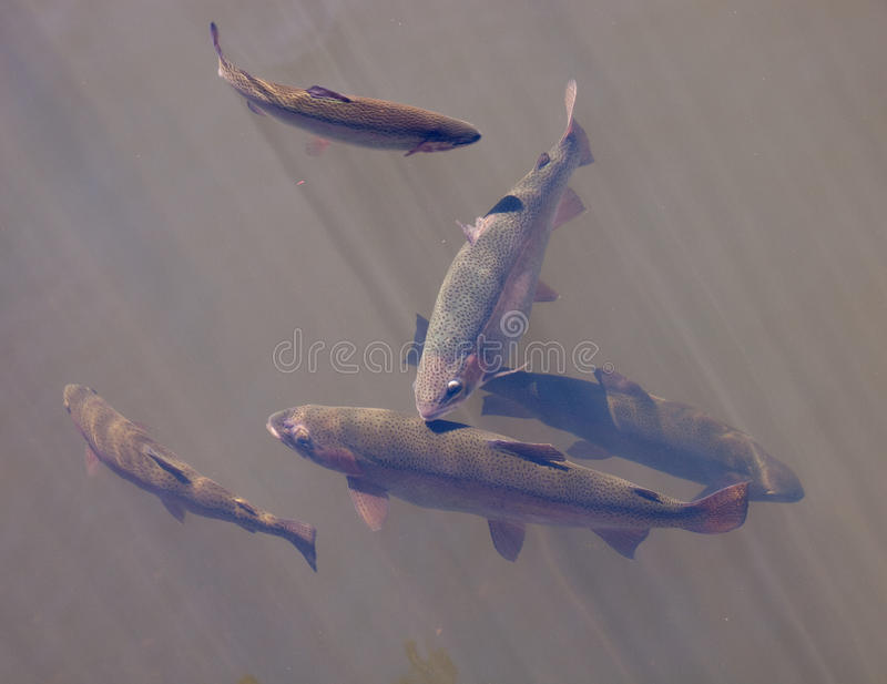 Lake Trout. Small group of lake trout close to the surface royalty free stock photos