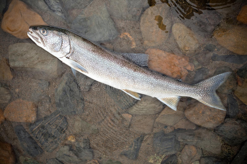 Lake Trout (Salvelinus namaycush). Freshly caught Lake Trout (Salvelinus namaycush) in shallow water stock images