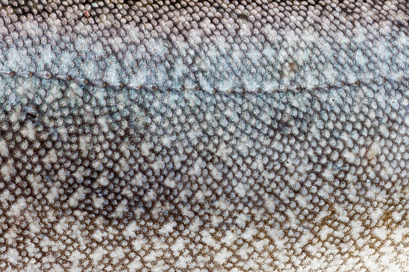 Lake Trout (Salvelinus namaycush) skin close-up. Natural camouflage design of freshwater fish Lake Trout (Salvelinus namaycush) close-up royalty free stock photo