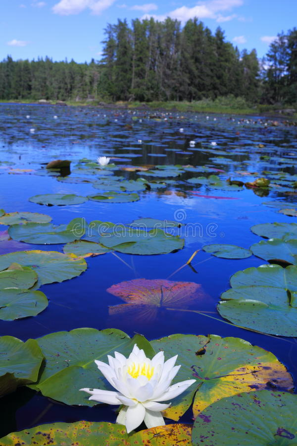 Lake with water lilies. White water lilies floating in remote Minnesota lake stock photography
