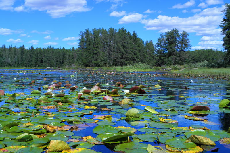 Lake with water lilies. White water lilies floating in remote Minnesota lake stock photo