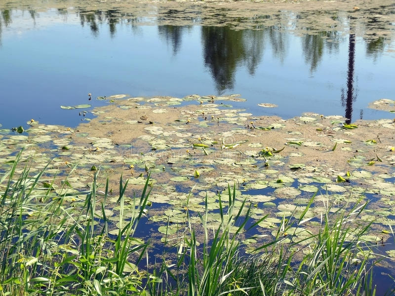 The lake with water-lilies. The silent lake with water-lilies and a cane royalty free stock images