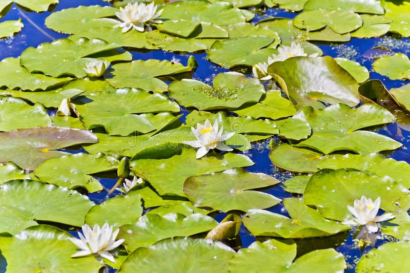 Lake with water lilies. In summer sunny day stock photo