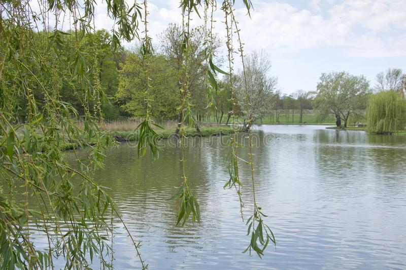 Lake with weeping willow. royalty free stock photography
