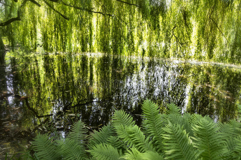 Download Lake with weeping willows stock image. Image of scenery - 26067137