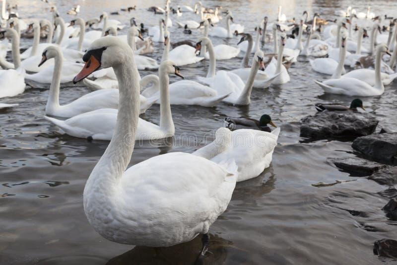 White swan on lake stock photos