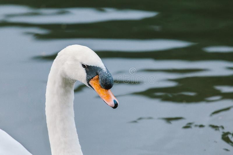 Lake with a white swan. Adult animal aquatic bird back beak bill black blue bright brightness color cygnus daylight eye fauna feathers graceful head imposing royalty free stock image