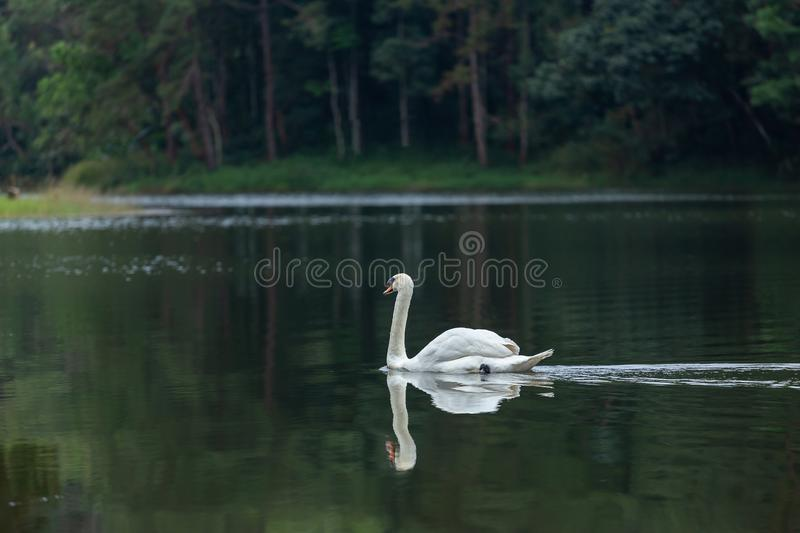 Lake with a white swan royalty free stock images