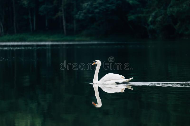 Lake with a white swan royalty free stock image