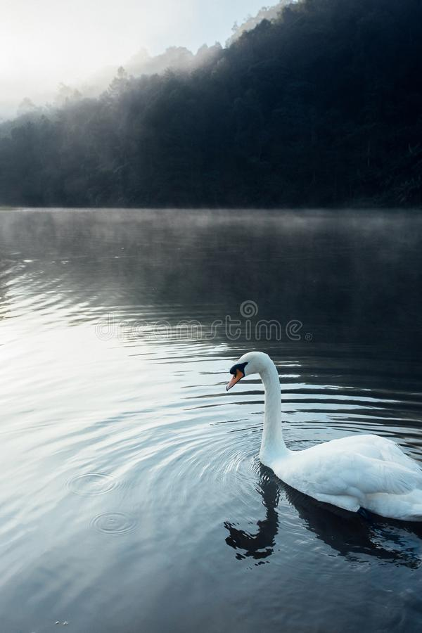 Lake with a white swan stock images