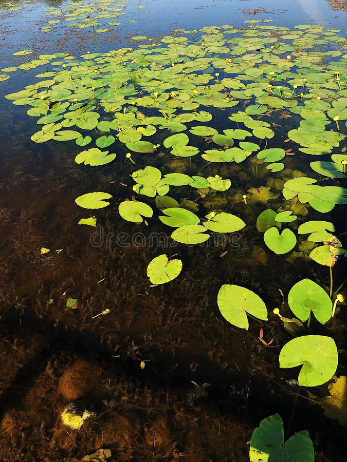 Lake with yellow water lilies in the forest. View stock images