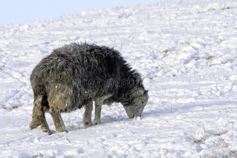 Download Lakeland Sheep in winter stock image. Image of fence - 27317113
